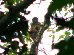 Red colobus preussi